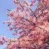 桜前線 北上中の画像