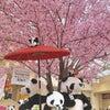 桜とパンダの画像