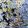 箱根湯本も梅雨入り☂ 紫陽花の季節ですの画像
