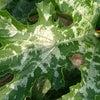 ズッキーニの葉っぱが白いのは、うどん粉病とは限りません!の画像