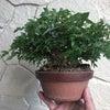 楓の植え替えの画像