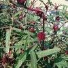 ローゼルの収穫の画像