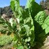 冬の葉物野菜『ラヨ』の画像