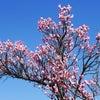 もうすぐ春、とりあえず梅林の画像