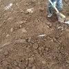 雪の下 越冬じゃがいもの掘り出し作業完了です。の画像