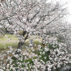 まもなく桜も見納めかなの画像