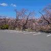 やっと桜が咲きました。の画像