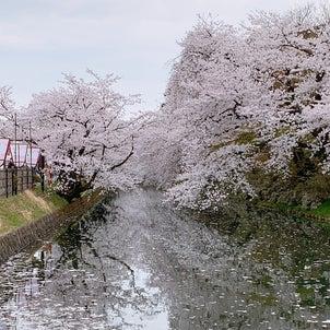 桜の季節がやってきましたの画像