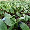 ズッキーニ発芽が揃って。畑の準備も急ぎます。の画像