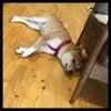 柴犬シュンちゃん‼️夏毛になって男前です‼️の画像