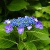 紫陽花の季節になりましたの画像