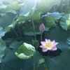 蓮の見頃@上野 不忍池の画像