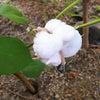綿の実 絵日記の画像