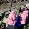 野菜の収穫の画像