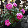 上野牡丹苑の画像