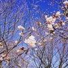 オオカンザクラが咲いていましたの画像