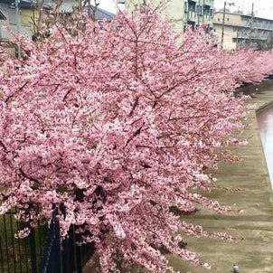 櫻花開了!の画像