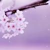 散る桜(良寛)の画像