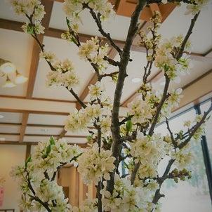 桜、咲いちゃいましたの画像