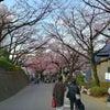 密蔵院 安行桜は満開でした。の画像
