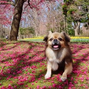 桜満開で春が来たのにの画像