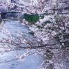 神田川の桜の画像