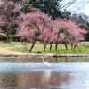 古河公方公園の桜・桃・菜の花の画像