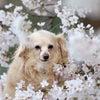 ランちゃんと桜の画像