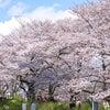権現堂桜堤の画像