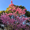 一年に一度、美しく咲く桜の画像