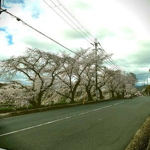京都のオススメお花見スポットの画像