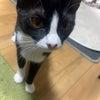 白黒ハチワレ猫十(てん)ちゃん避妊手術無事終わりました。頑張りました。の画像
