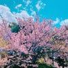 神戸の占い店スタッフのひとりごと♪【桜満開】の画像