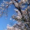 桜はきれいに咲いてますよの画像