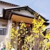 葉牡丹の花。の画像