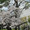 尼崎の桜めぐり2020の画像