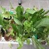 お野菜の値上がりへの備え&ストレス対策にベランダ菜園の画像