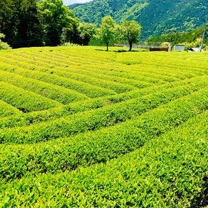 岐阜マチュピチュ⁉︎天空の茶畑と八十八夜の画像