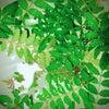 山椒 免疫アップ 木の芽味噌の画像