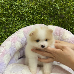 ポメラニアンの子犬います♪の画像