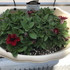 サフィニアの成長 鮮やかな紅色の画像