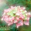 母の日に紫陽花 岡田和樹 2020年5月12日・facebook記の画像