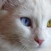ヴァン猫に会いたいの画像
