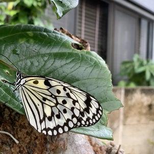 オオゴマダラ、石垣市の蝶、市蝶!の画像