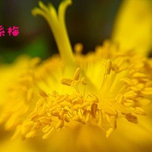 西洋金糸梅の画像