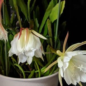 5/30月下美人と庭の花の画像