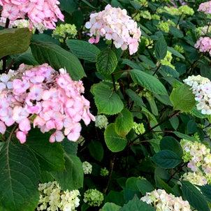 紫陽花の6月♪パリの落とし物の画像