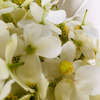 ドクダミの花で美白化粧水のための下準備 ときめくチンクチャー作り①の画像