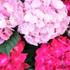 6月ですね~ 紫陽花の画像