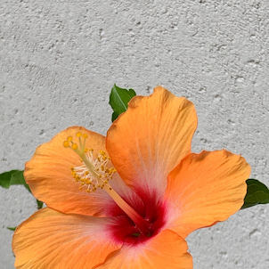 今年もハイビスカスの花がの画像